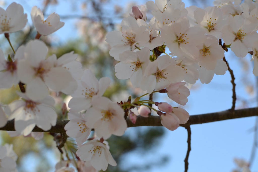 close up of cherry tree