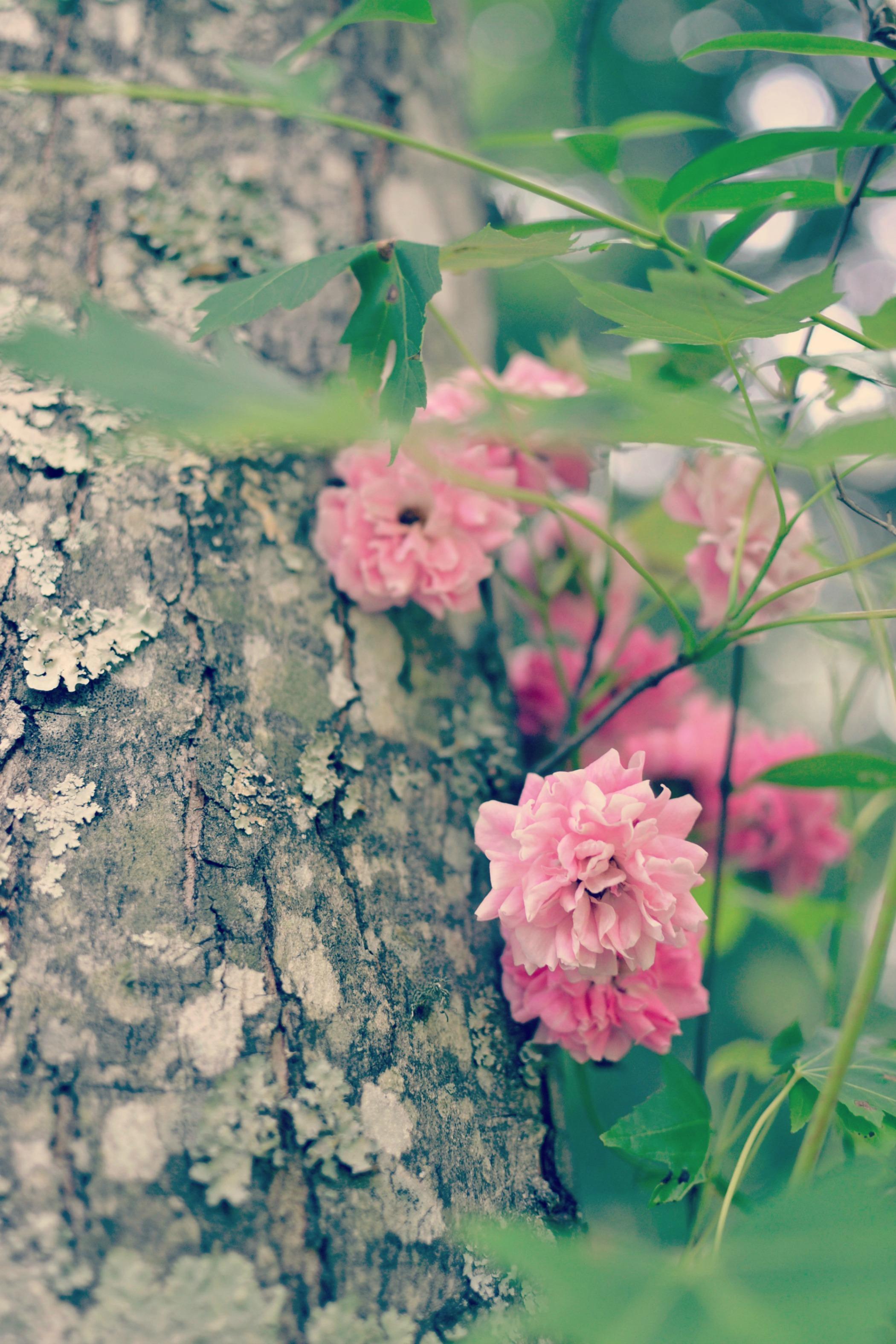 climbingroses