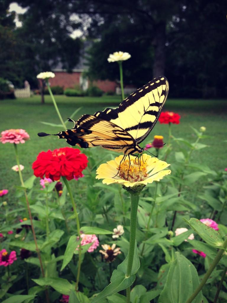 butterflyonzennia