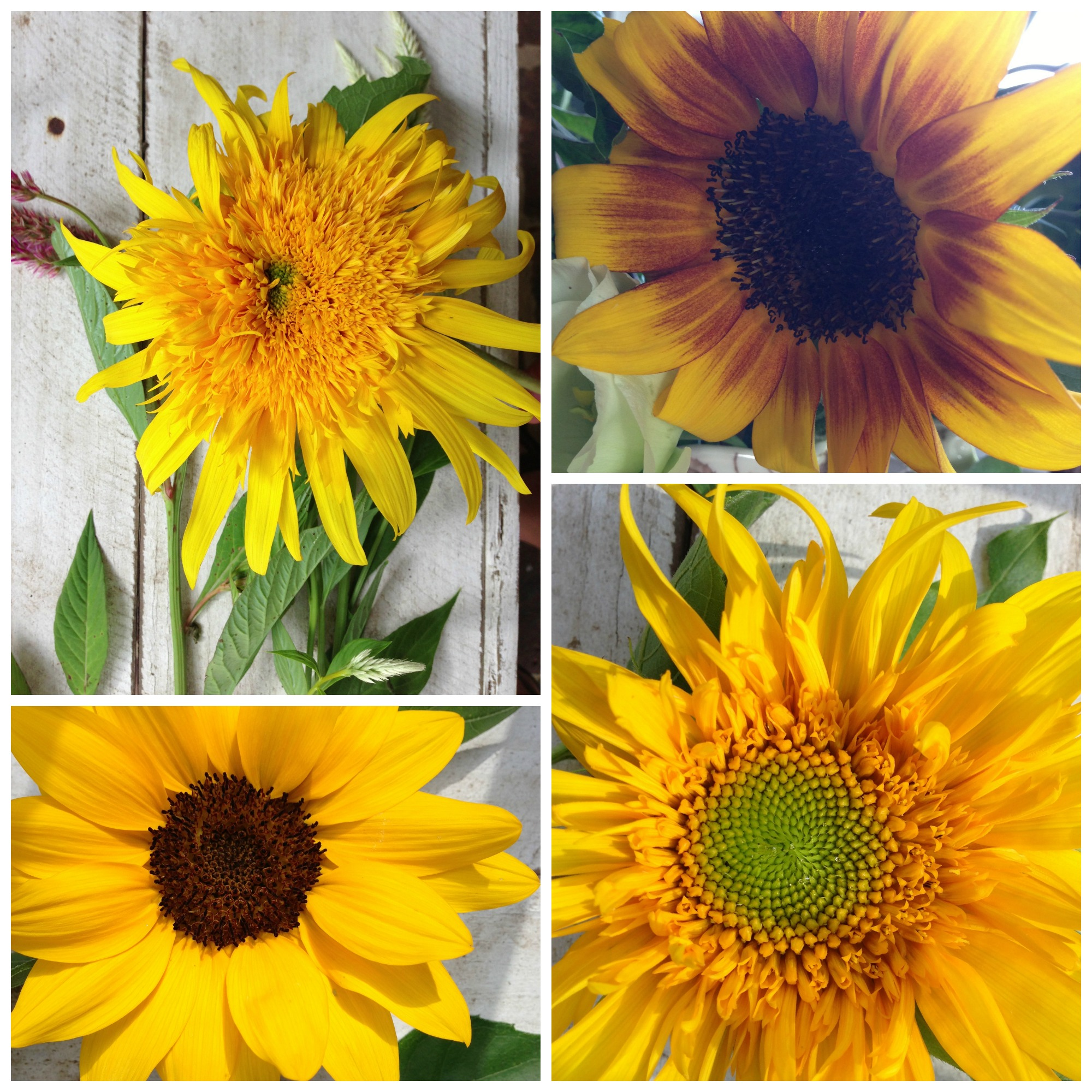 sunflowercollage