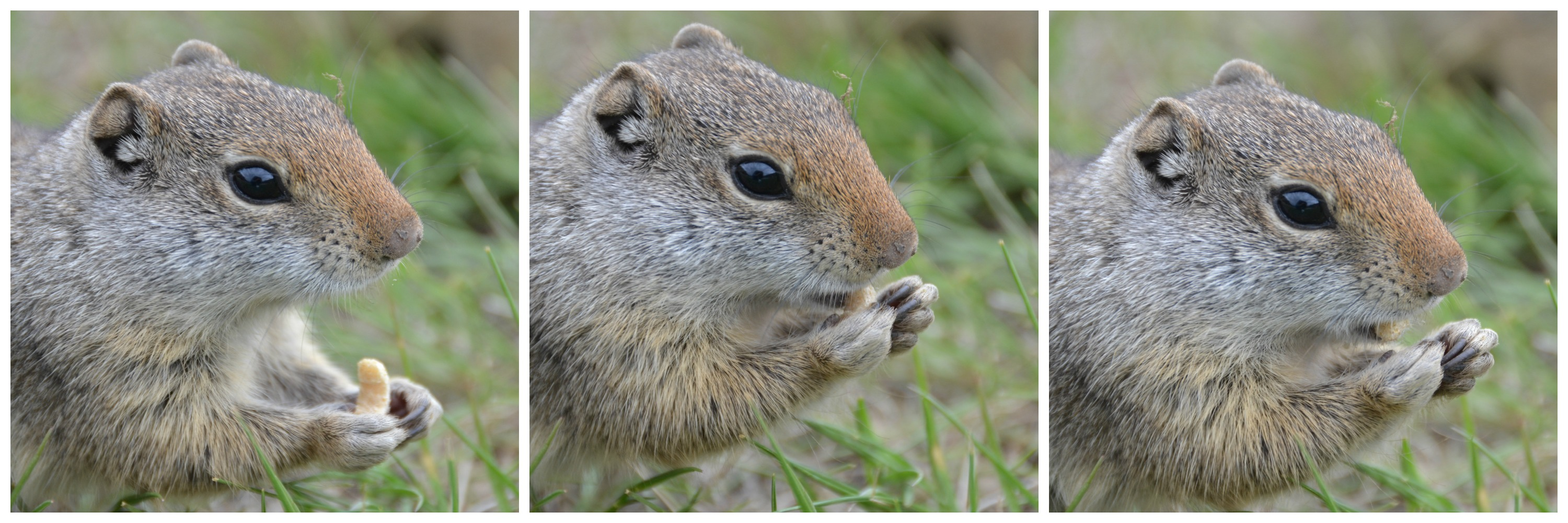 groundsquirrel