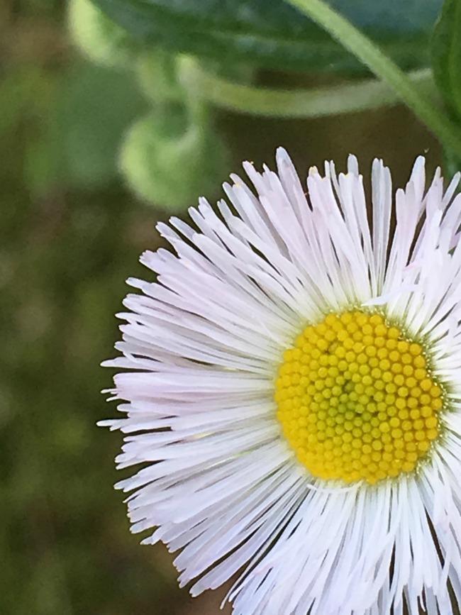 flea bane daisy
